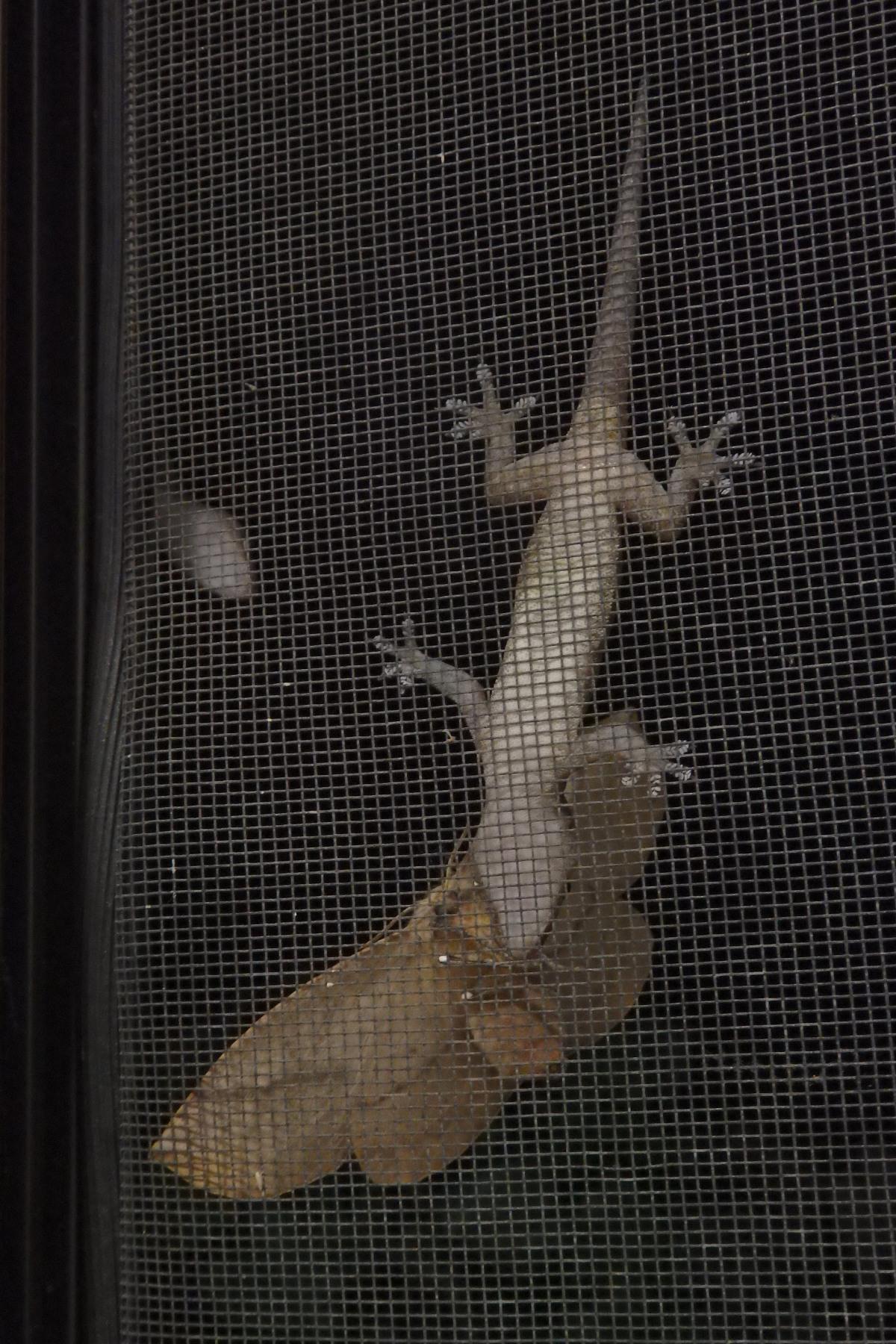 asian house gecko eating a moth