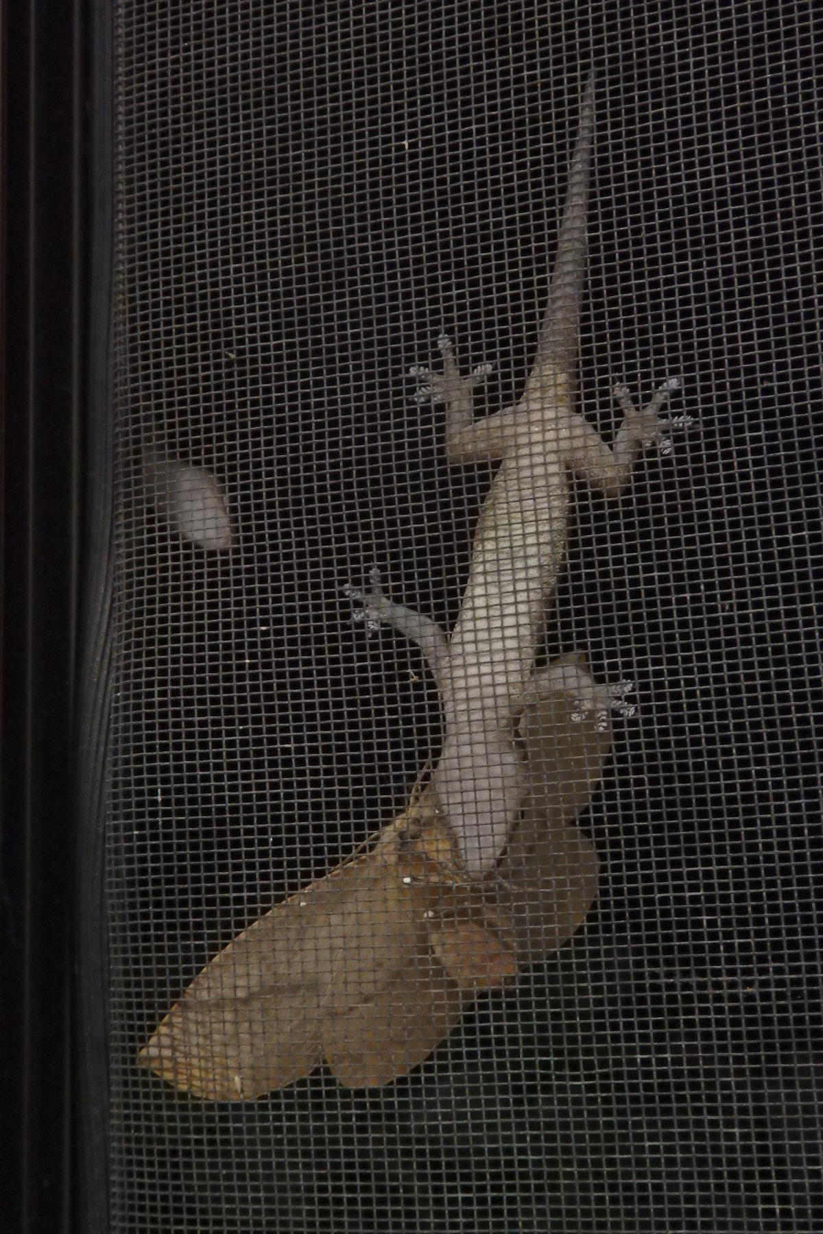 asian house gecko eating a moth