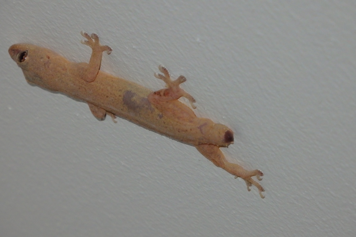 asian house gecko with no tail
