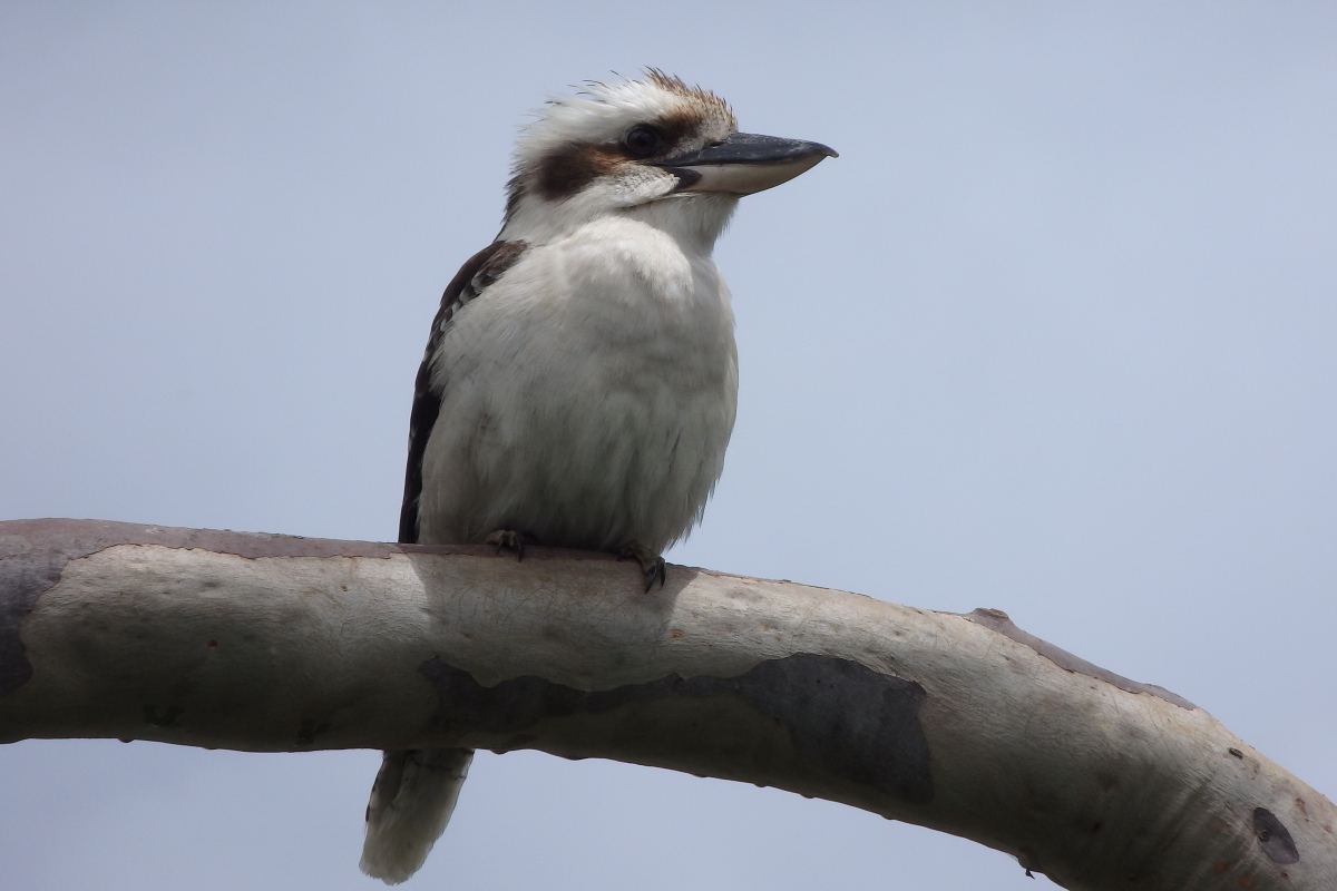 kookaburra sits in the old gum tree