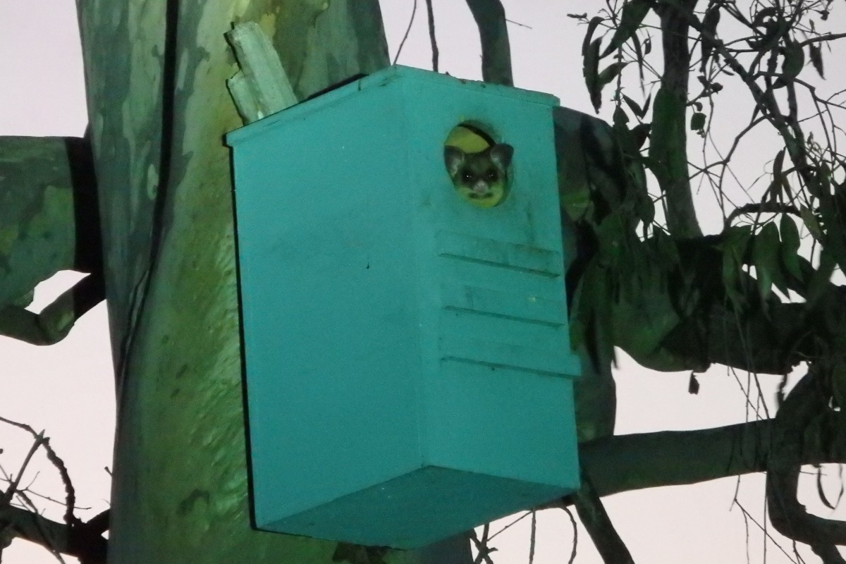 brushtail possum in box