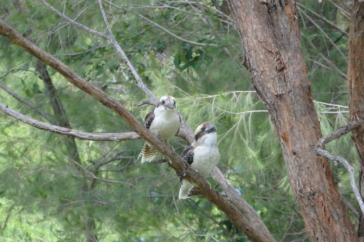 kookaburras in a gum tree