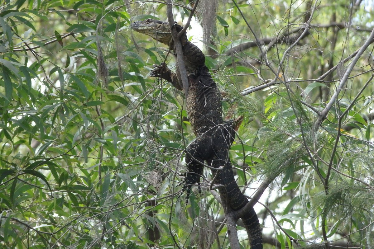 goanna lace monitor in tree