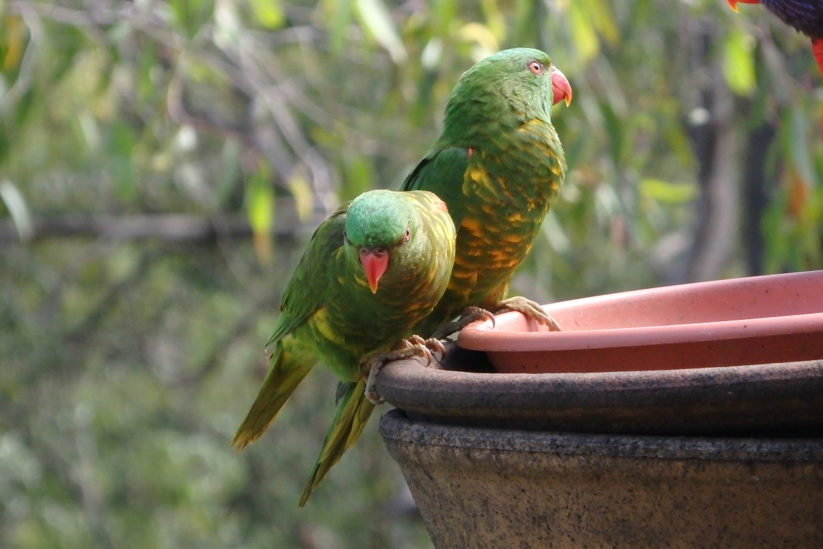 scaly breasted lorikeets