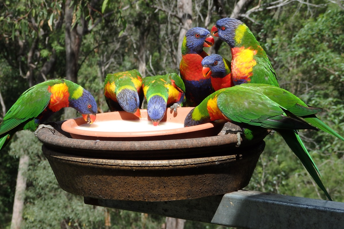 rainbow lorikeets feeding