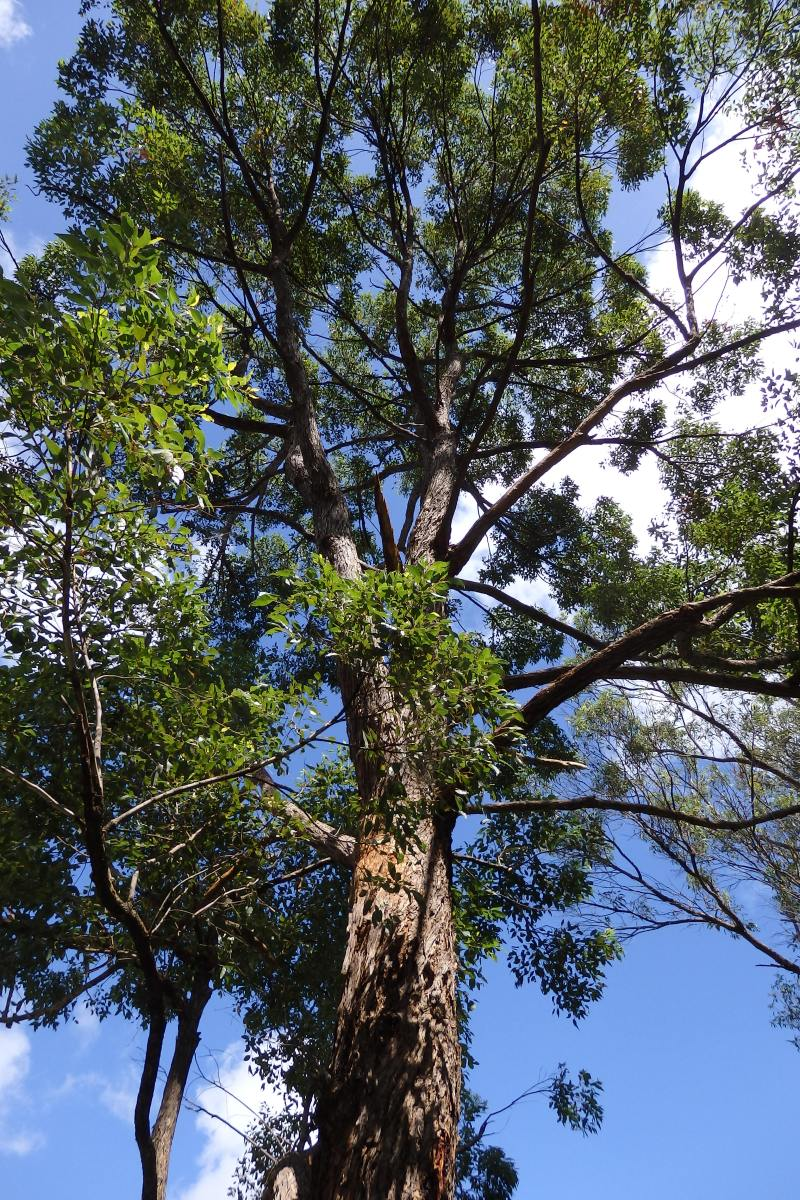 Tallowwood Gum Tree - My Wild Australia